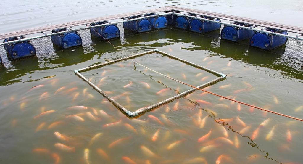Выращивание рыбы в садках 908